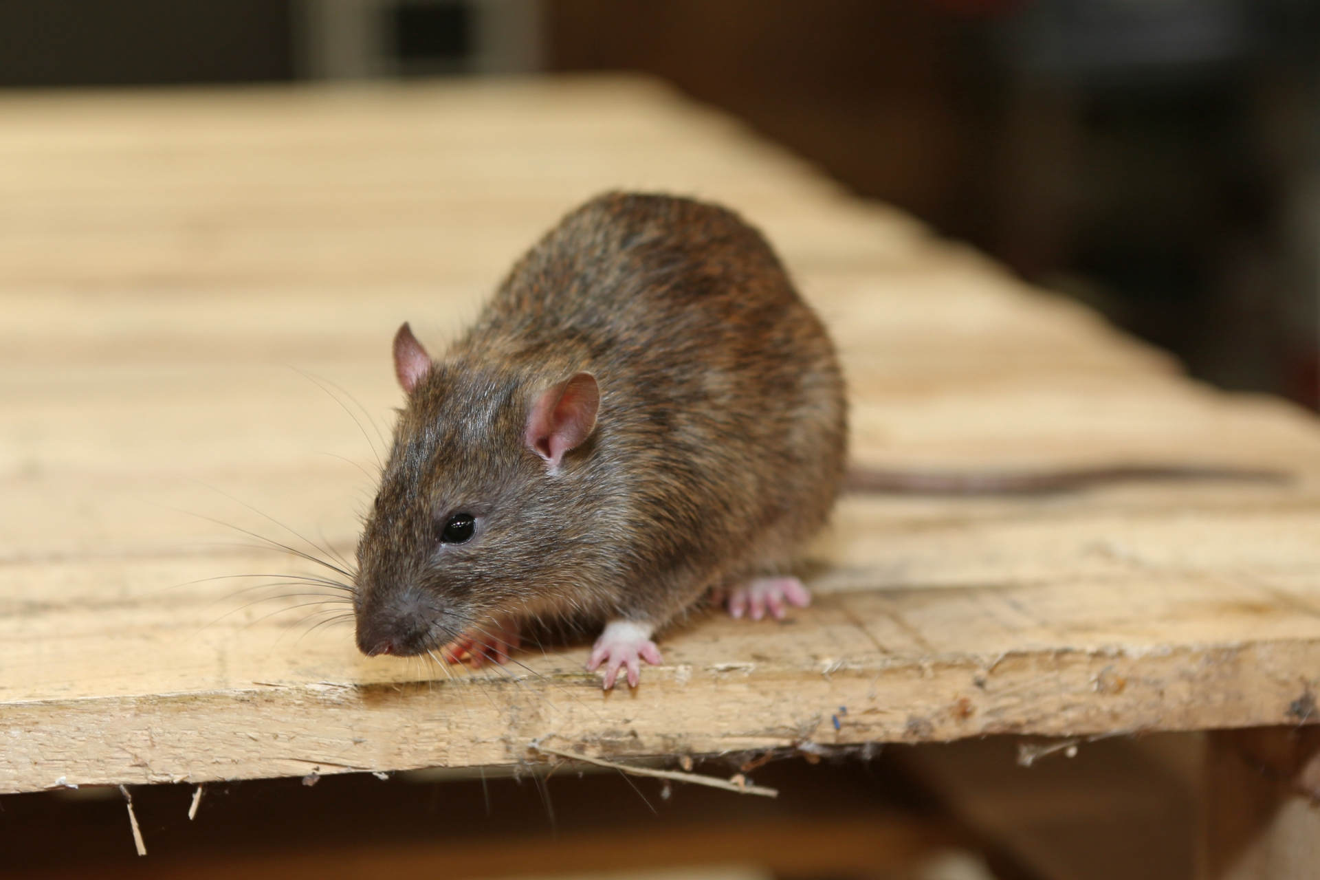 Rat Infestation, Pest Control in Aldgate, Monument, Tower Hill, EC3. Call Now 020 8166 9746